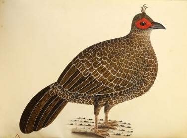 Natural History Drawings (watercolour) (1)